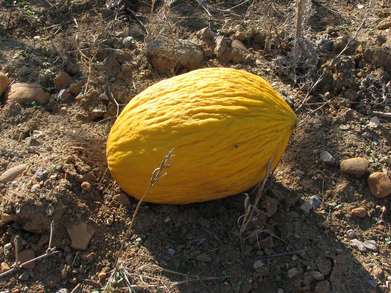 yellow melon (North Morocco 2009)