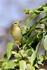 Willow warbler-2487