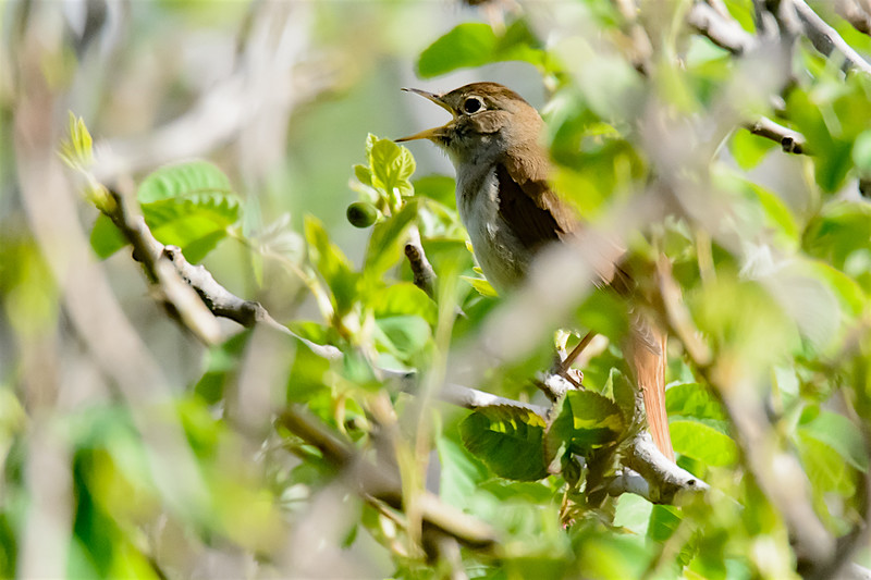 Nightingale singing-