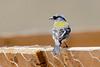 African Chaffinch-2530