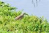 Squacco heron-
