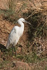 Little egret digi-1070738
