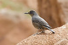 Blue Rock Thrush F -