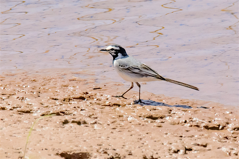 Moroccan White wagtail-1514