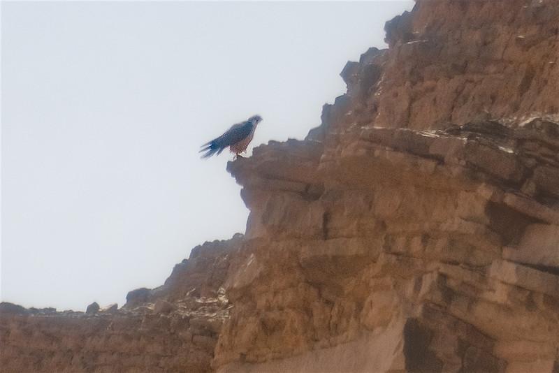 Lanner falcon digi-1070918