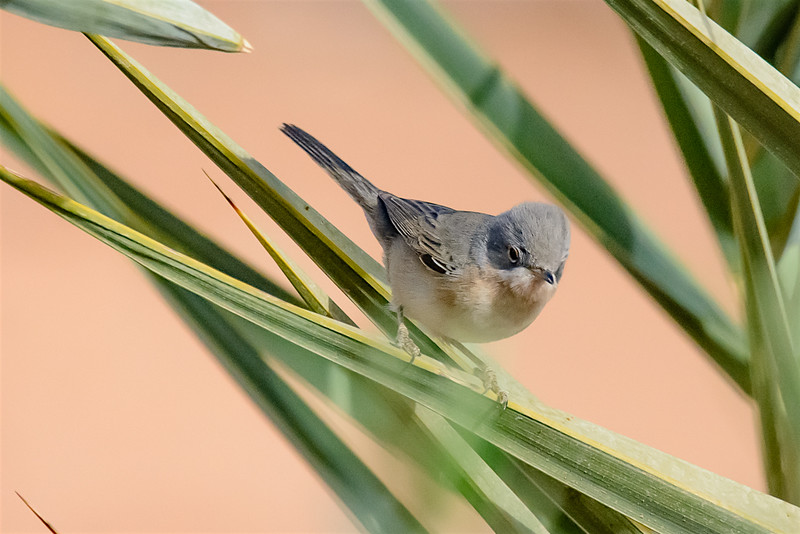 Subalpine warbler-1330