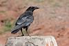 Common raven-