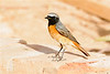 Common redstart-2053