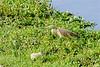 Squacco heron-2450