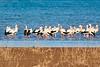 White storks-1070505