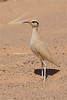 Cream-colored courser-1882