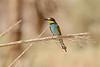 Eur  Bee-eater-1494