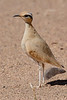 Cream-colored courser-1887