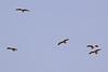 Black kites-