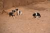Desert pups-1070890