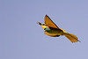 Euro  Bee-eater with bee-