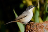 W Orphean warbler-1306