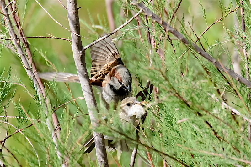 House sparrows having fun-