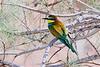 Eur  Bee-eater digi-1070479