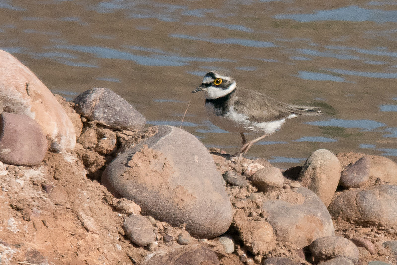 Little Ringed plover digi-1070717