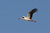 White stork-1090