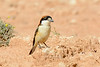 Woodchat shrike-2490