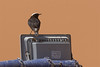 White-crowned wheatear-1903
