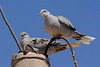 Eur  Collared doves-1889