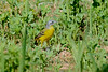 Yellow wagtail flava-2351
