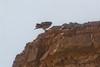 Lanner falcon digi-1070923