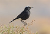 White-crowned wheatear-1952