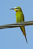 Blue-cheeked bee-eater-1611