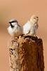 Desert sparrow pair-1291