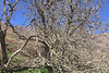 Walnut tree-1809