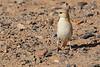 Desert sparrow F -1752