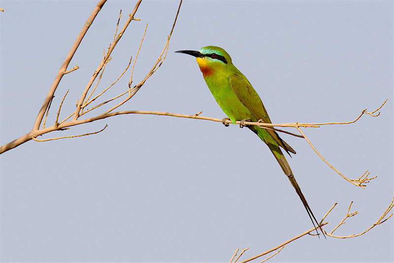 Blue-cheeked Bee-eater-2046