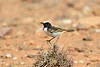 Red-rumped wheatear-2210