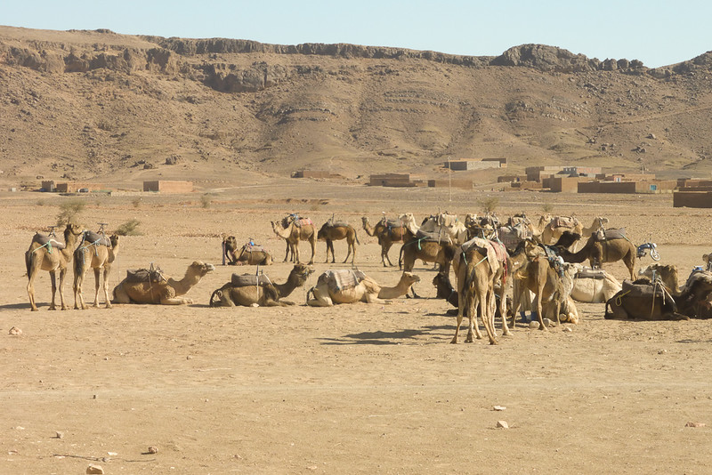 Camels-1000457