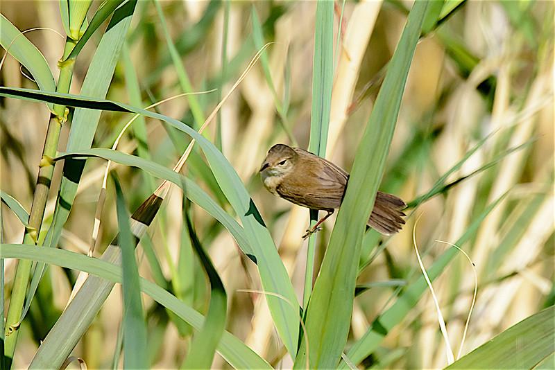 Reed warbler-2440