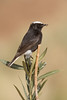 White-crowned wheatear-2135