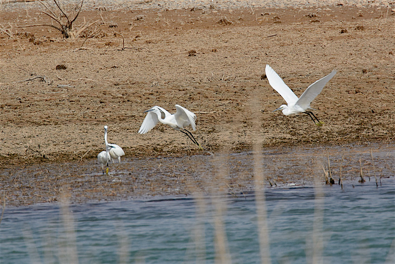 Little egrets-2421