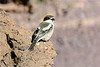 Woodchat shrike-1074