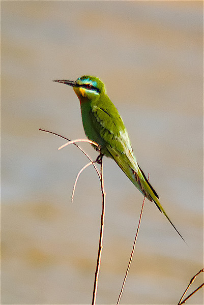Blue-cheeked Bee-eater digi-1070756