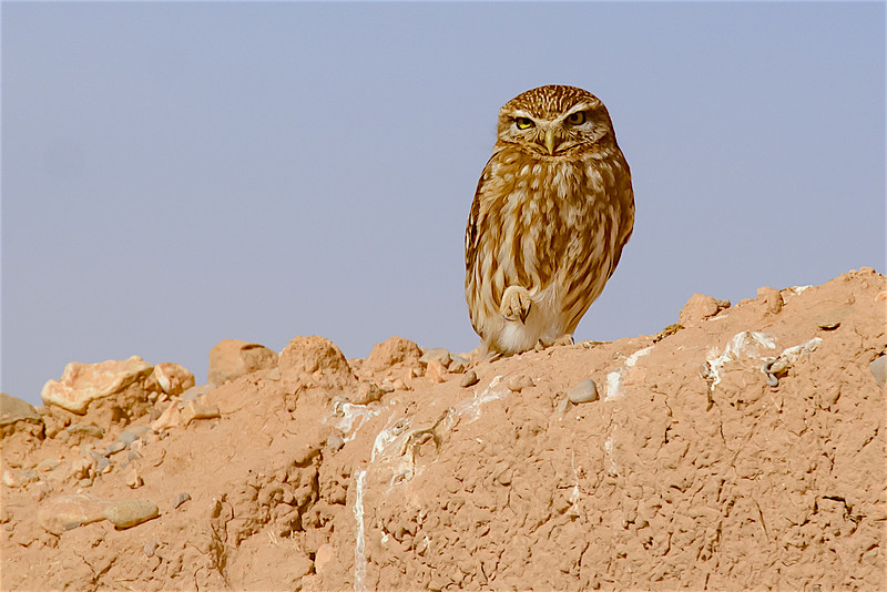 Little owl-2330