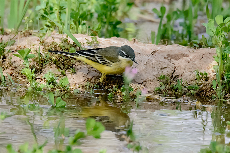 Yellow wagtail (winter pl)-