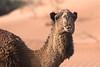 Camel-1207