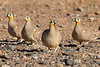 Crowned sandgrouse-1705
