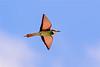 Eur  Bee-eater -1037