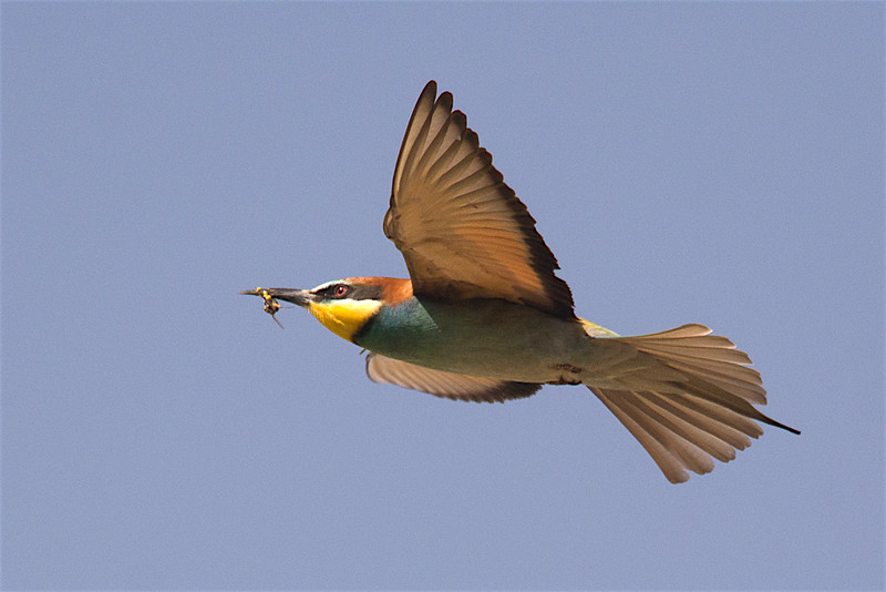 Euro  Bee-eater with bee-2341