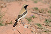 Desert wheatear-1063